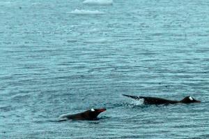 Swimming Penguins-Paradise Bay  Penguins swimming-Paradise Bay