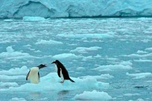 Penguin Antics-Paradise Bay  Penguins swimming-Paradise Bay