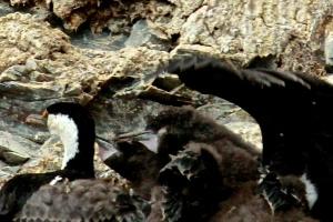 Nesting Comorants-Paradise Bay