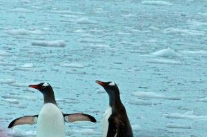 Paradise Bay  Penguins swimming-Paradise Bay