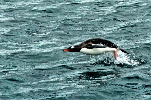Gentoo Penguin fishing