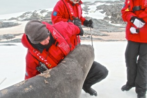 Port Charcot  -fun with a young elephant seal