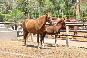 An Afternoon at the Peruvian Paso horse farm