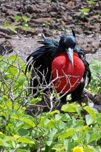 Male frigate bird on Viagra