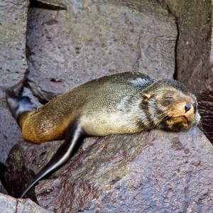 Baby fur seal resting after breakfast