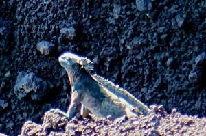 A marine iguana
