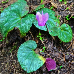 miniature wild cyclamen