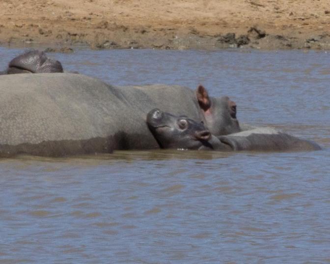 Bwana & Bwanette (aka, the Gringos) Go On Photo Safari