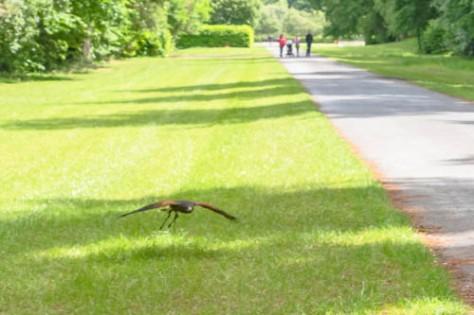 Hawk Walk-35