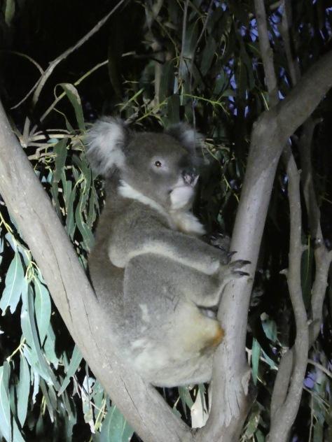 Kangaroo Island-500